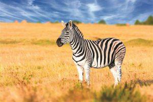 ▷ Sonhar Com Zebra 【É mau presságio?】