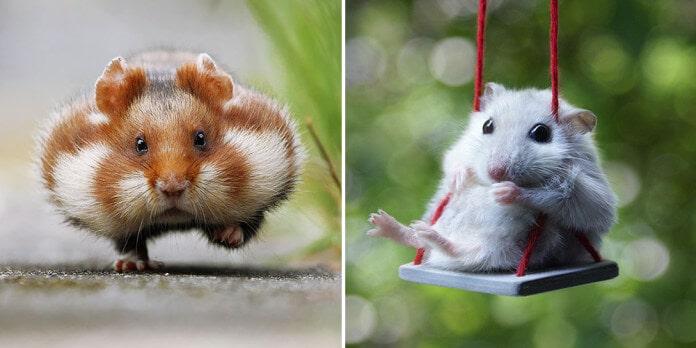 dois hamsters um gordinho e um magrinho