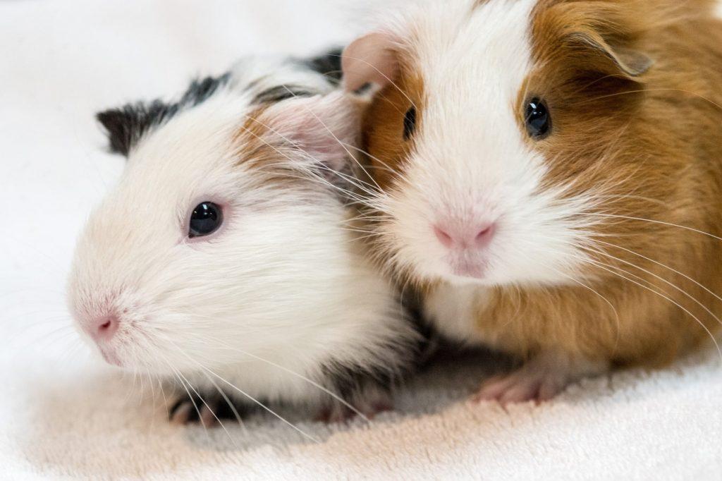 dois hamsters - um macho e uma femea
