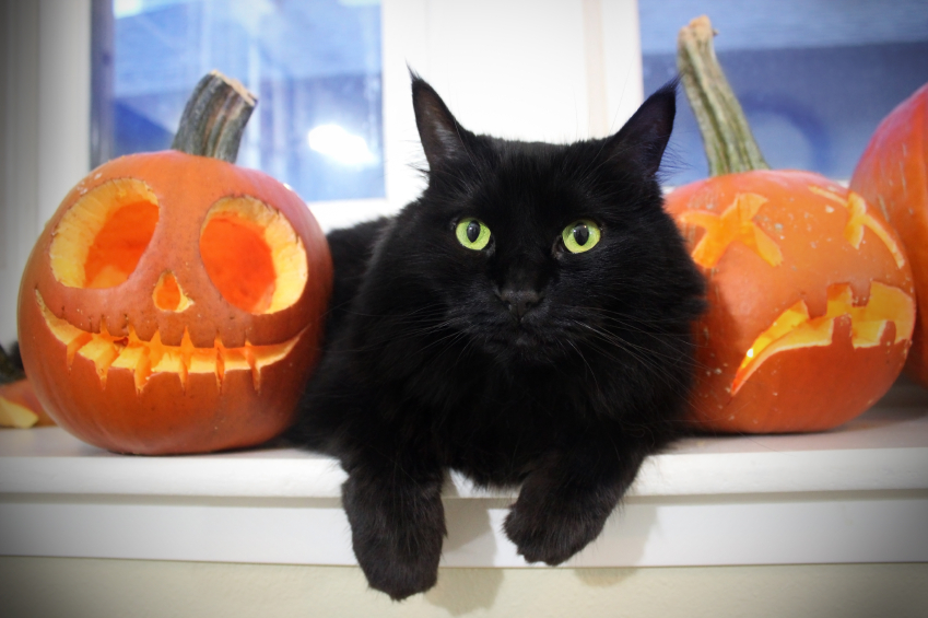 gato preto deitado no meio de duas abóboras de halloween