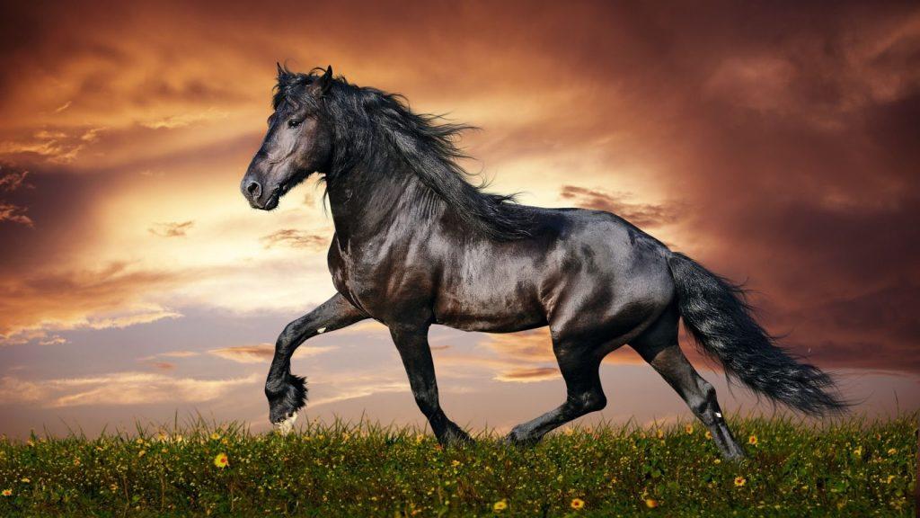 cavalo preto muito bonito com o pelo brilhoso no por do sol