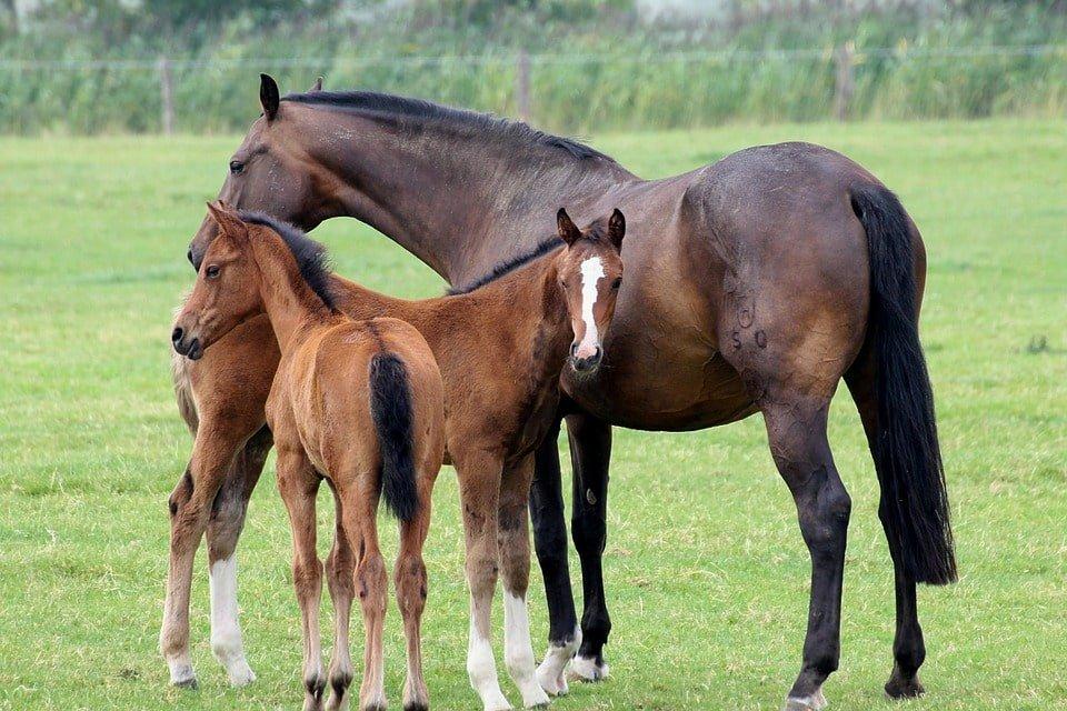 égua com dois filhotes - cavalos