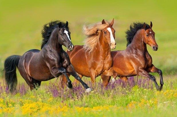 três cavalos correndo livremente pelo pasto, dois cavalos marrons e um preto