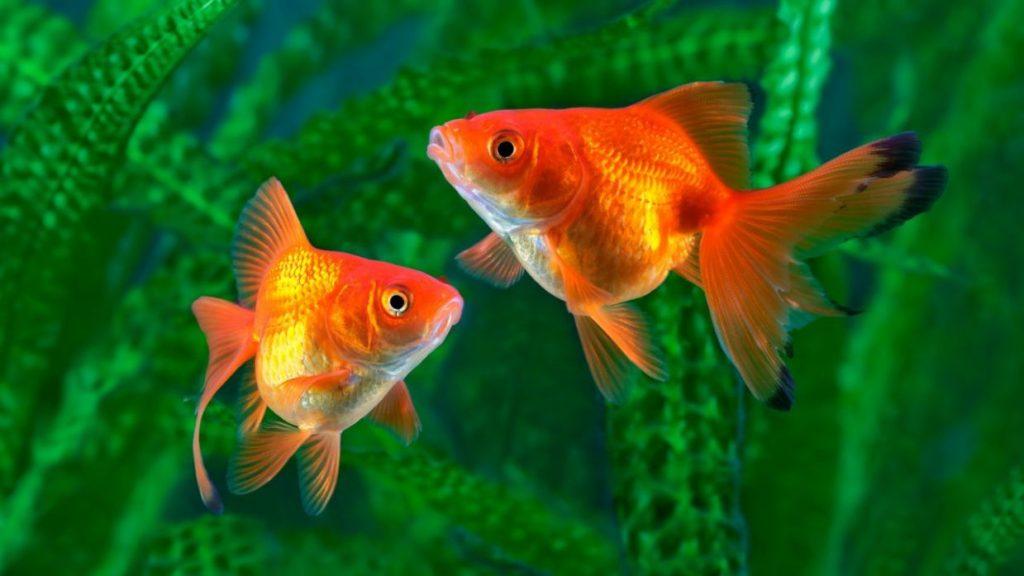 dois peixinhos laranjados nadando no mar