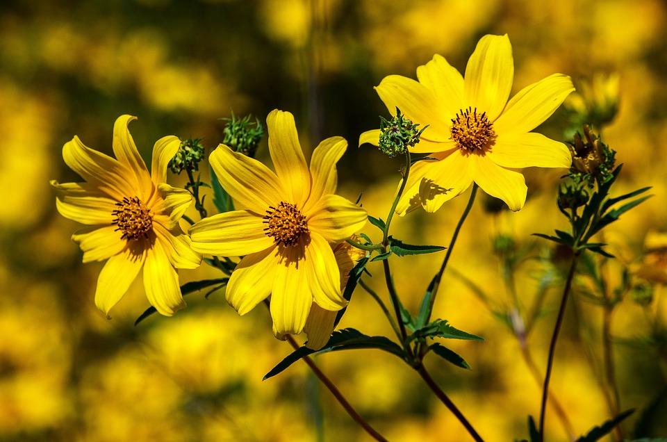 plantação de flores amarelas