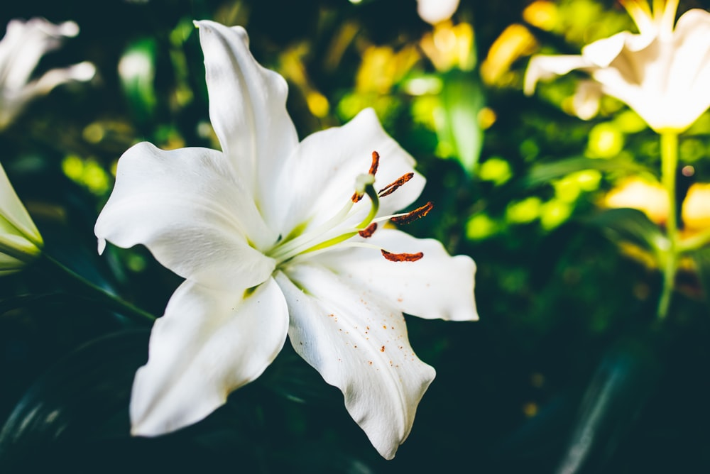 flor lírio branco