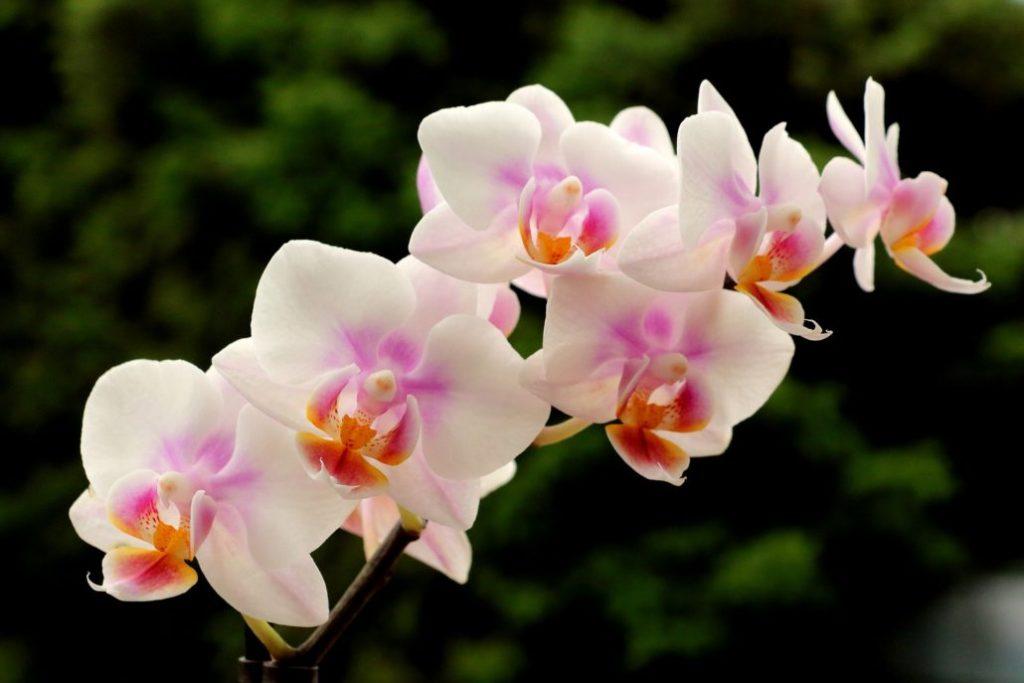 orquídea rosa clara florida