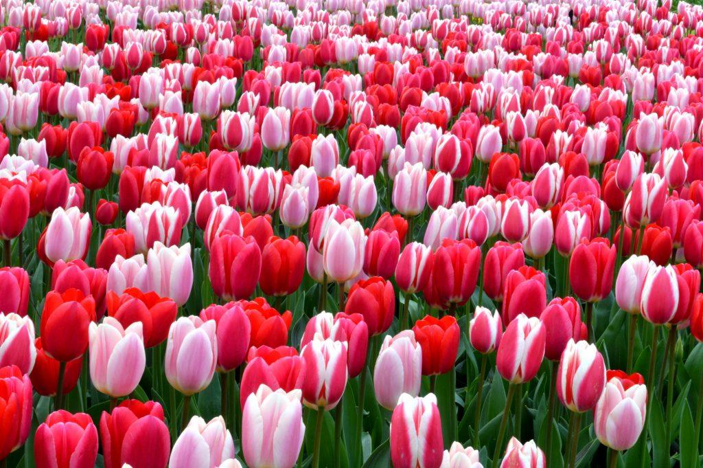 campo de tulipas rosas