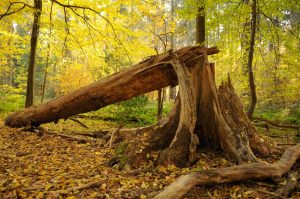 ▷ Sonhar Com Árvore Caindo é Mau Presságio?