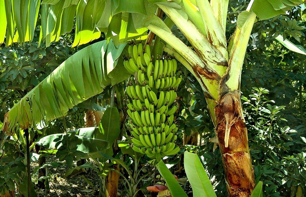 cacho de banana verde, mas pronto para colher