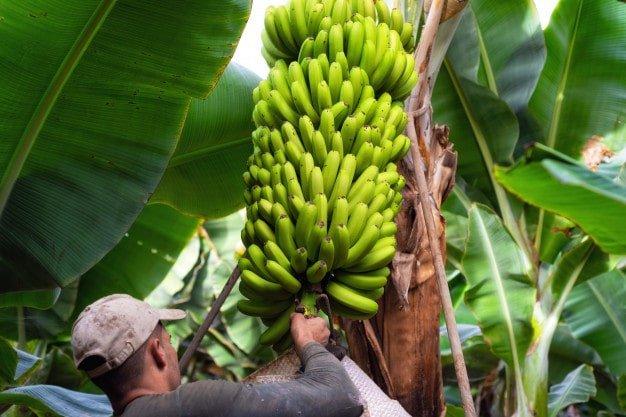 You are currently viewing ▷ Sonhar Com Cacho De Banana 【É Sorte?】