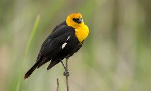 ▷ Sonhar Com Pássaro Preto e Amarelo 【É Mau Presságio?】