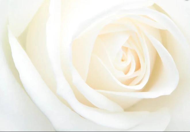 ▷ Sonhar Com Rosa Branca 【É Mau Presságio?】