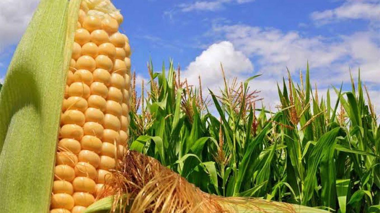 ▷ Sonhar Com Plantação De Milho 【É Bom Presságio?】 -