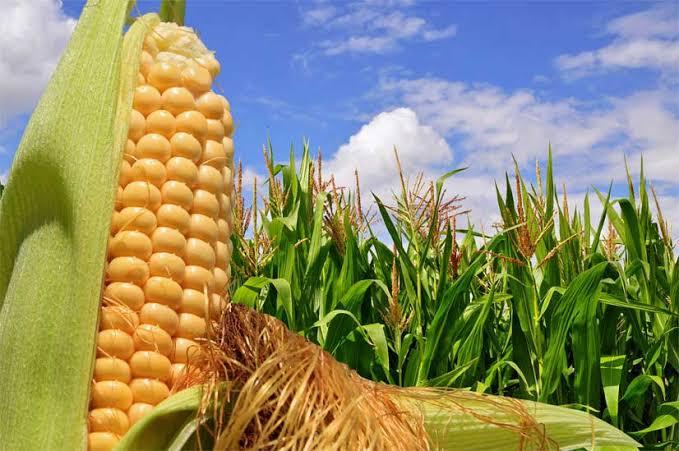 ▷ Sonhar Com Plantação De Milho 【É Bom Presságio?】