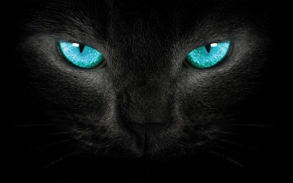 gato preto do olho azul piscina
