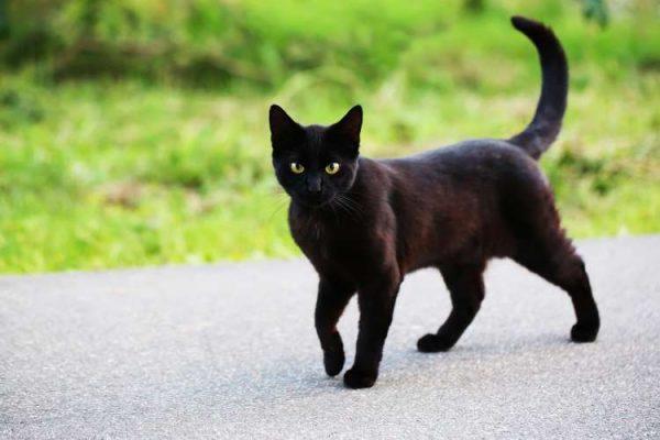 gato preto andando na rua
