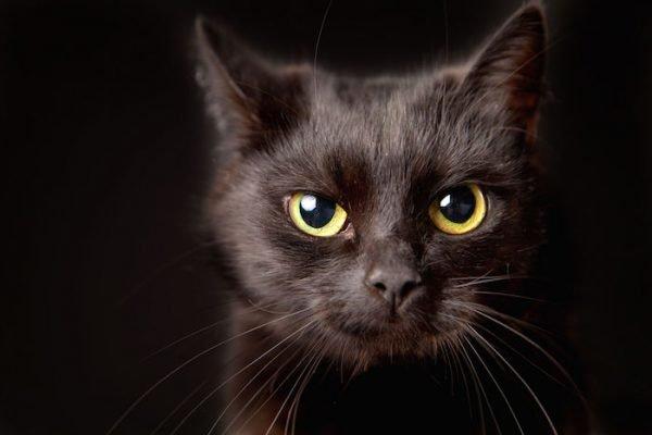 ▷ Gato Preto Significado Espiritual (Tudo O'que Você Precisa Saber)