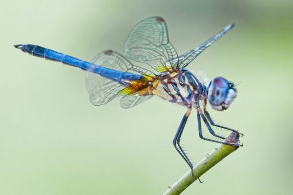 libélula azul voando
