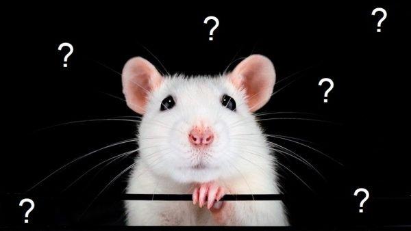 ▷ Ratos Têm Ossos? Resposta COMPLETA!