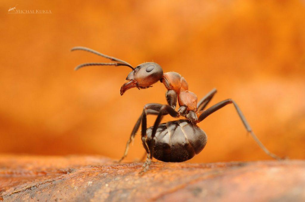 formiga preta com vermelha andando sob a terra