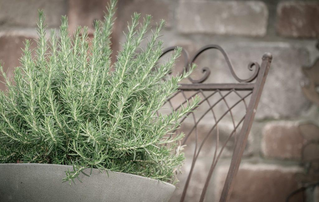 alecrim plantado em um vaso