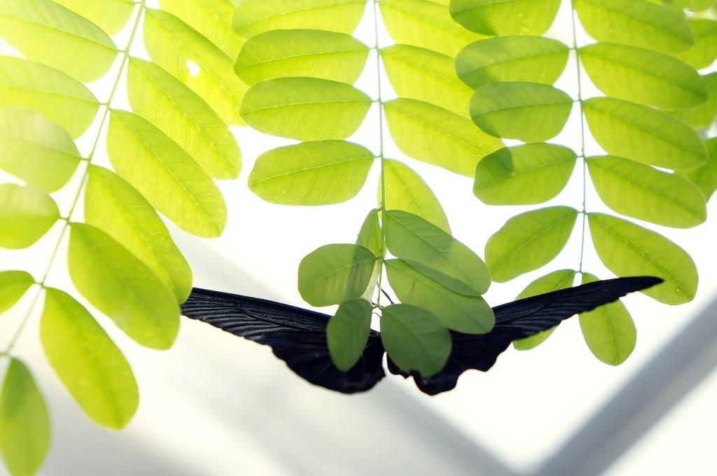 borboleta preta bruxa parada em uma árvore de folhas verdes