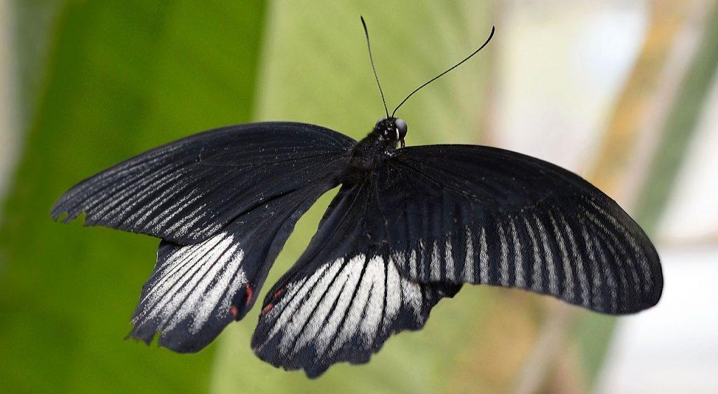 borboleta bruxa preta