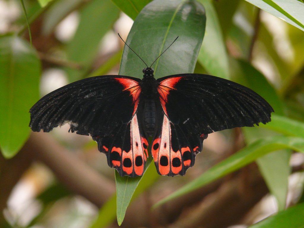 borboleta preta com alaranjado em uma árvore de folhas verdes