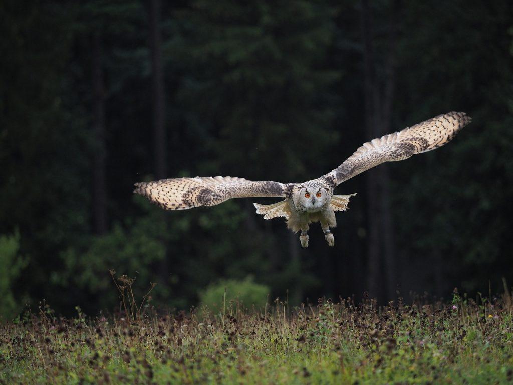 imagem de uma coruja voando livremente na natureza