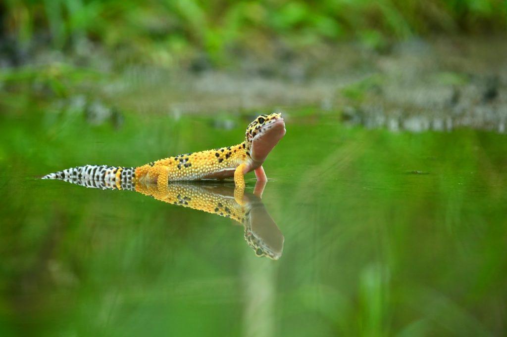 lagartixa da natureza andando por entre a grama
