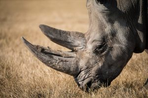 ▷ Sonhar Com Rinoceronte (Significa Sorte?)