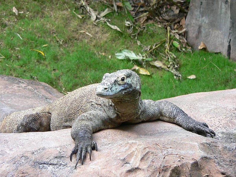 foto de um dragão de komodo