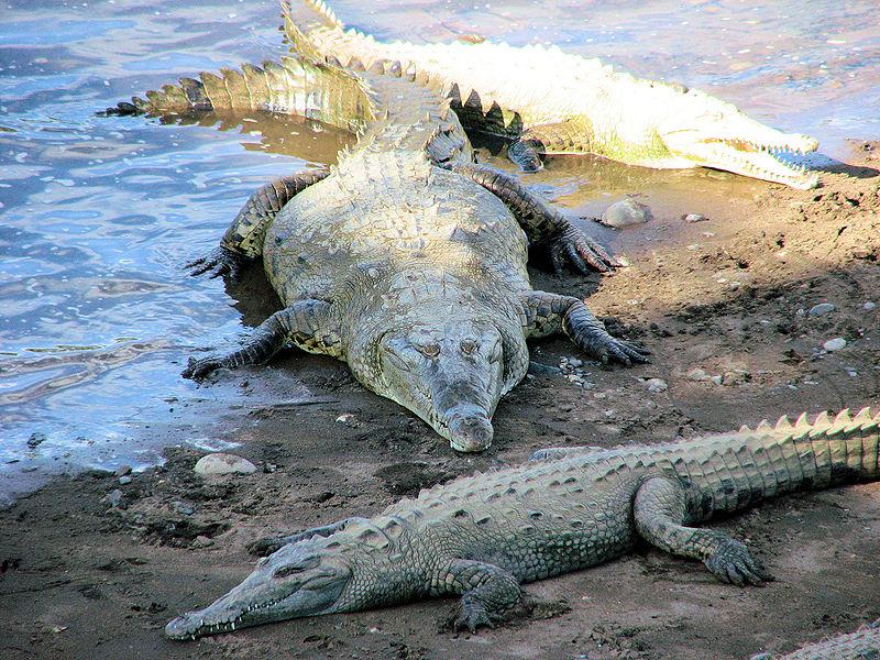 imagem de crocodilos americanos em um lago