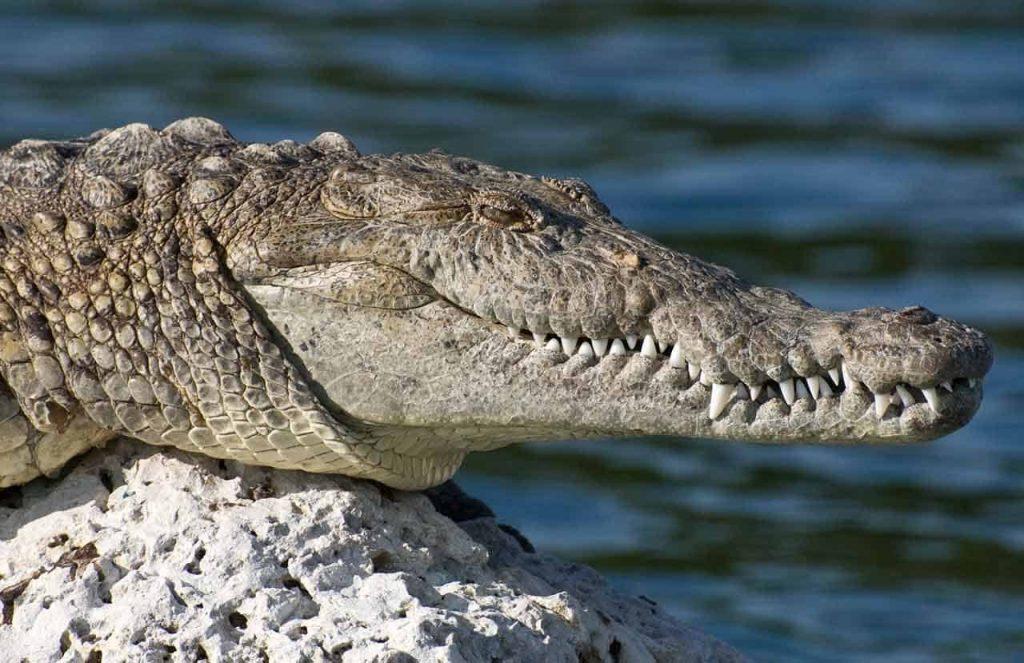 crocodilo americano observando em cima de uma rocha