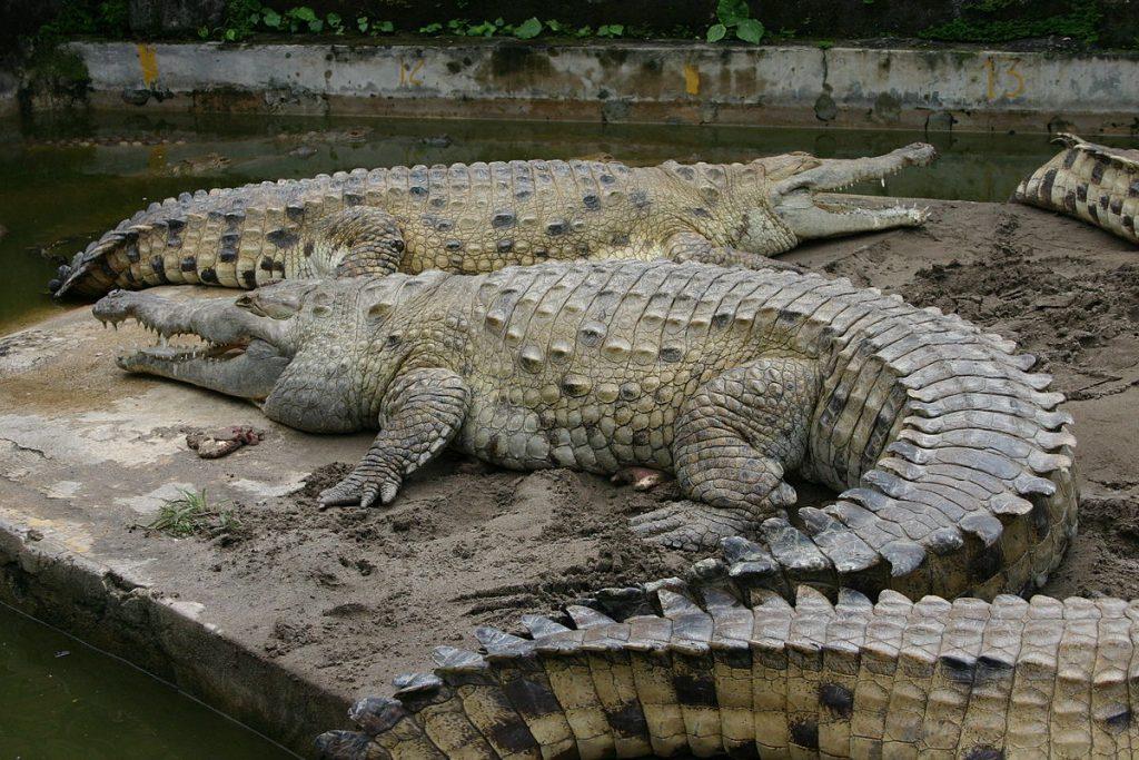 crocodilos em um lago