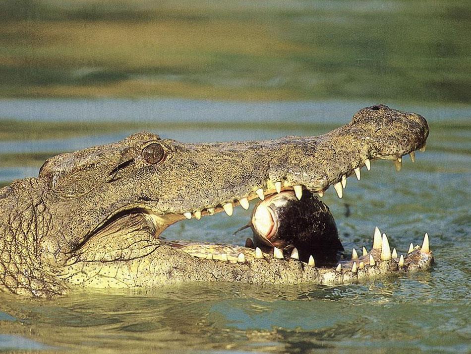 crocodilo do nilo com um peixe dentro da boca