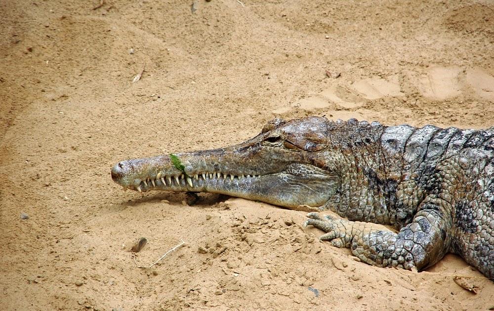 gavial da malásia andando na areia