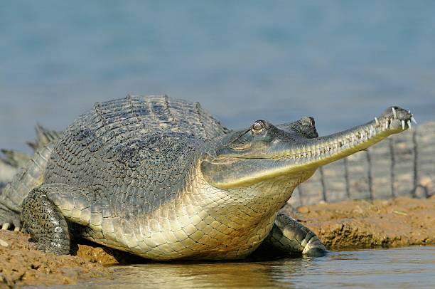 gavial entrando no rio com uma barriga bem grande