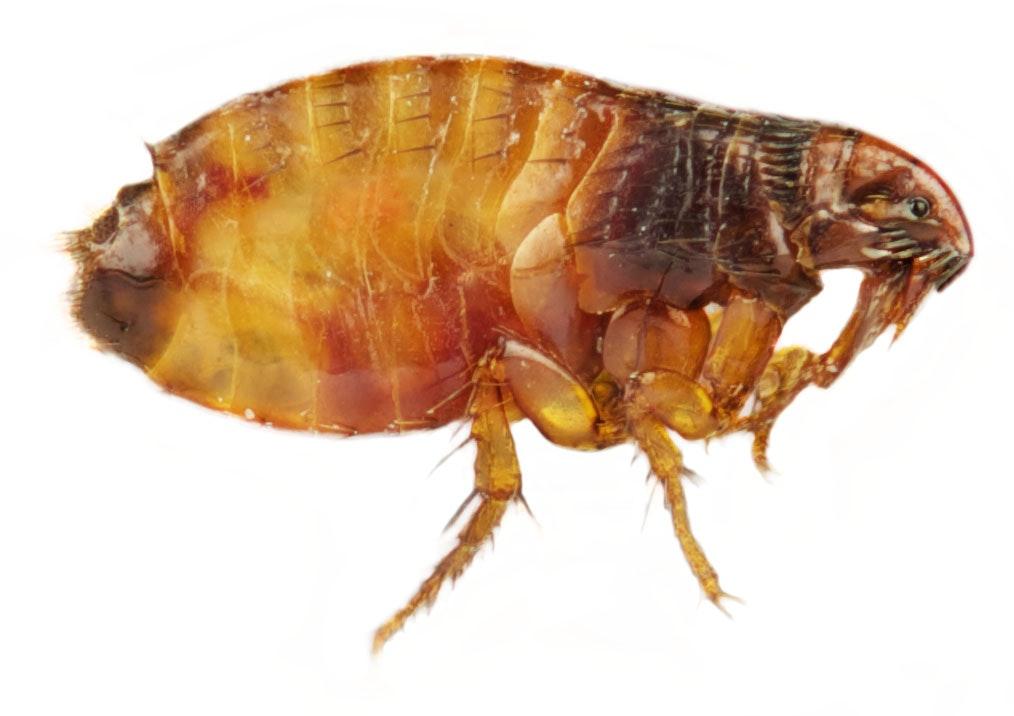 pulga em tamanho grande