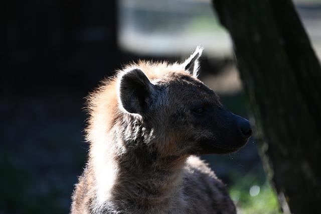 hiena olhando para o lado