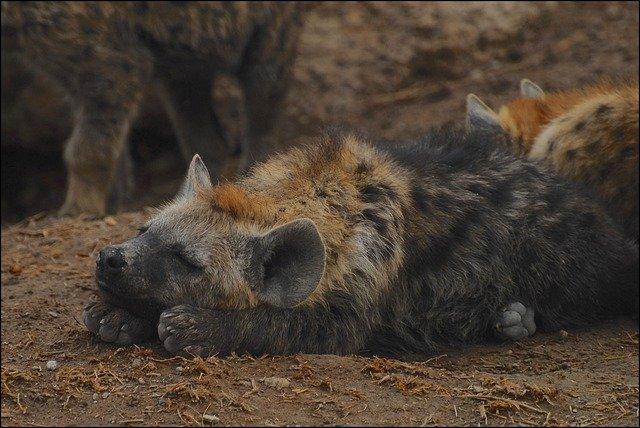hiena deitada no chão na natureza
