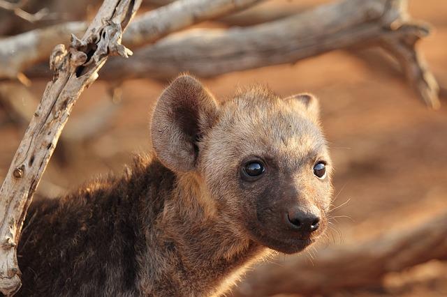 filhote de hiena pequeno