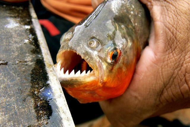 pessoa segurando um peixe piranha