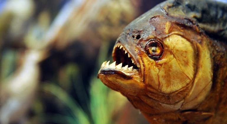 piranha com dentes grandes