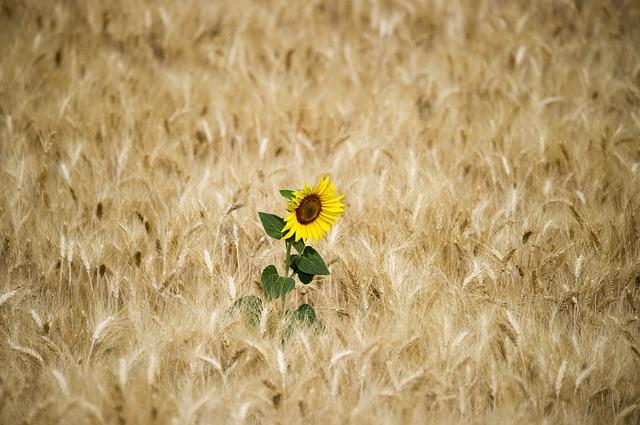 girassol em meio a um campo de plantação de trigo